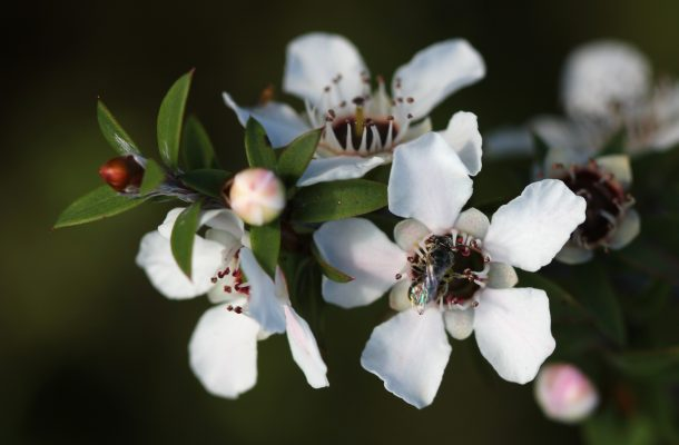 Manuka plantation sets fresh direction for commercial